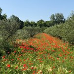 Olives and poppies