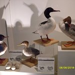 other duck specimens