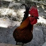 Rooster friendly - they'll eat out of your hands :)