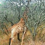 Billede af Phezulu Safari Park