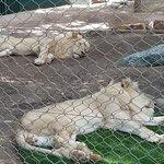 Sleepng Lions