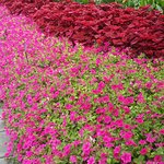 Dalla Botanical Gardens - Red Mix
