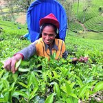 Tea picking lades in countryside