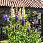 Nepeta, Lupins & fox gloves