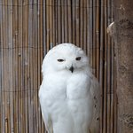 Snowy owl in its aviary