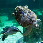 Green and loggerhead sea turtles