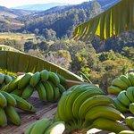 Cultivo das Bananas de Nosso Menu!