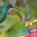 Puerto Rican Green Mango, one of our two endemic hummingbirds.