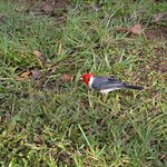 Beautiful little red-crested cardinal at Hanalei Valley Lookout, Kaua'i