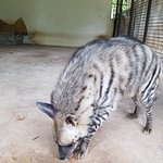 striped Hyena... awesome and majestic