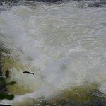 watching the salmon run upstream