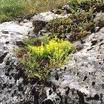 Sedum growing in rock on the way up tot he outlook.