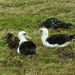 Albatross parents and chick