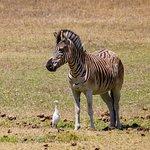 One of Zebra's enjoying the summer sun.