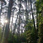 Massive Pines