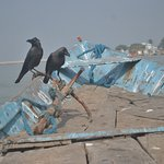 Crows taking the boat ride