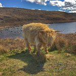 Highland cow chillin on the Bealach Na Ba RootlessRoutes Scotland 2018