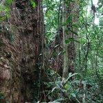 Cunninghamia - Sapin Indochinois Su Mu Pu Hoat nature Reserve