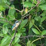 Sacred Kingfisher (todiramphus sanctus) cendrawasih expedition