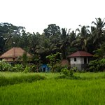 Rice fields close by the villas