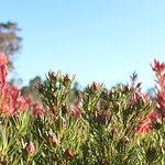 Leucadendron Strawberry Fields, Yelverton Protea Farm