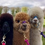 Woodland View Alpacas