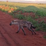 hyena seen on a morning drive with bowi tours