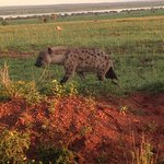 hyena on a morning game drive bowit tours
