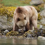 Female grizzly bear foraging in the intertidal