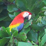 Scarlet macaw by the beach