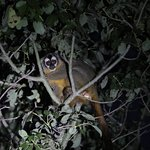 Azara´s Night Monkey at Neuland´s Reserve