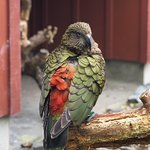 Kea enclosure. Loved being so close to these beautiful, smart and cheeky parrots