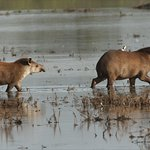 Lowland Tapir - Central Chaco