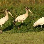 Wood Stork - Humid Chaco