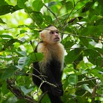 White-faced capuchin visited the beach often.