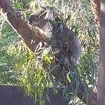 Koala at Healesville