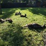Kangaroos napping