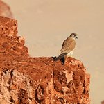 Australian kestrel (Falco cenchroides)