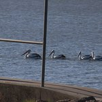 Several pelicans