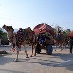 Camel card at Pushkar, Rajasthan (India)
