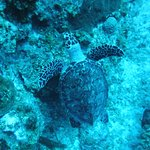 A Hawksbill turtle at Eagle's Nest.