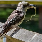 Bruce the Laughing Kookaburra with a rubber snake!!!!