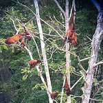 a family of howler monkeys