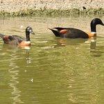 Australian shel duck