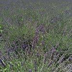 メインのラベンダー畑