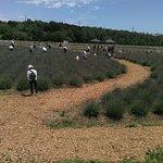 一段下のラベンダー畑