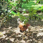 Feral chickens in garden area