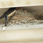 In line to enter the house, you'll see the barn swallows swooping overhead, nesting above window