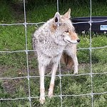 Rango the Coydog -- Coyote/dog hybrid