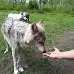 feeding the wolfdogs treats in the interactive tour